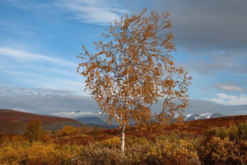 Сиротливая пожелтетая береза в горах осени стоковые фотографии rf