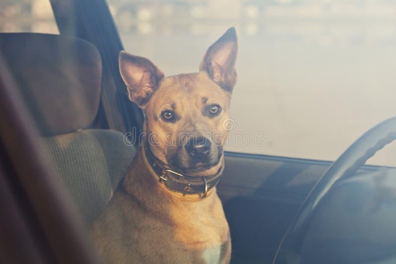 Собака в автомобиле стоковые изображения rf