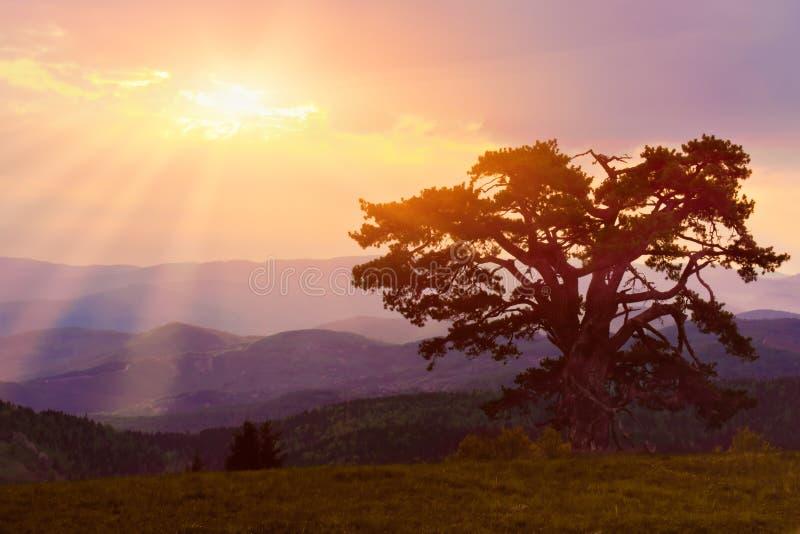 Download Сиротливая сосна в раннем утре Стоковое Фото - изображение насчитывающей рассвет, старо: 33737446