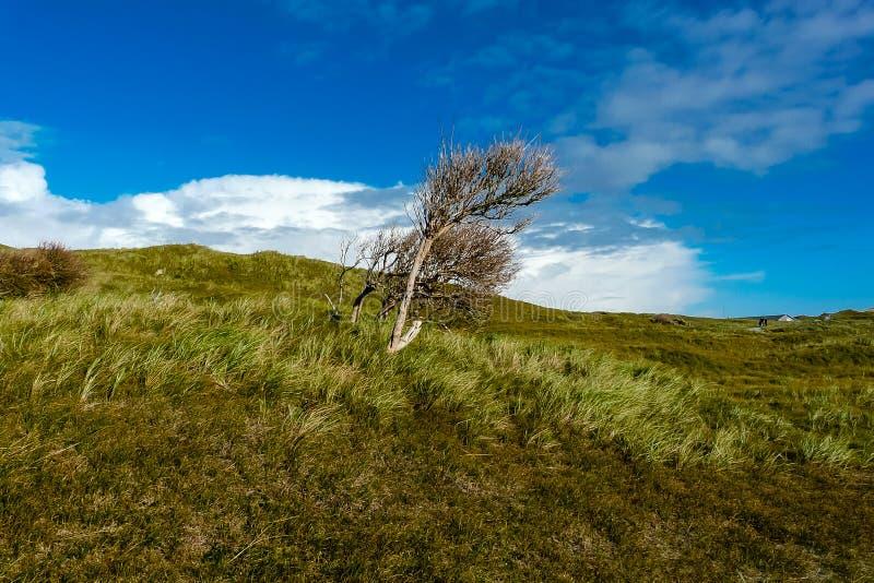 Сиротливое дерево в ветре на Norderney в Германии стоковое изображение rf