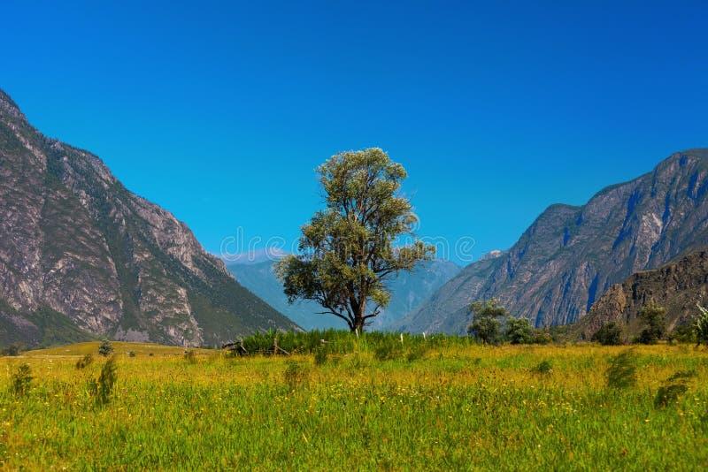 Сиротливое дерево в горах Altai Россия стоковые фотографии rf