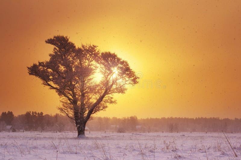 Сиротливое дерево в снежностях в рано утром стоковое фото rf