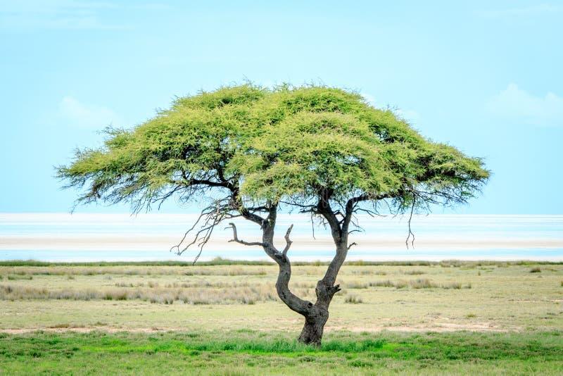 Сиротливое дерево в траве перед озером соли стоковое изображение