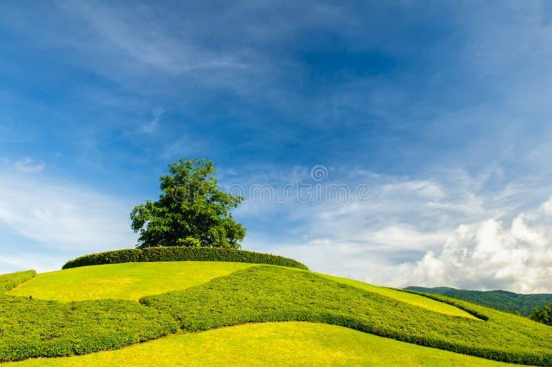 Сиротливое дерево на верхней части холма стоковая фотография rf