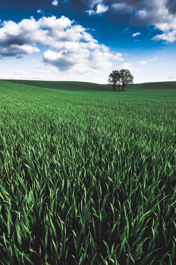 Сиротливое дерево над полем зерна стоковое фото