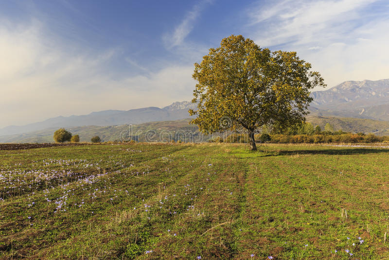 Сиротливое дерево на поле в осени Pirkuli стоковое изображение