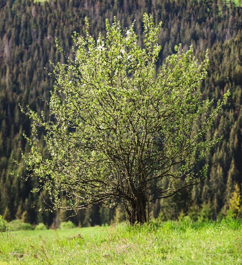 Сиротливое дерево на предпосылке гор стоковые фотографии rf