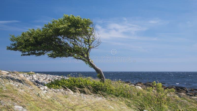 Сиротливое изогнутое дерево морским побережьем стоковое фото rf