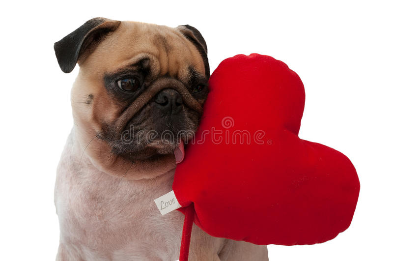 Сиротливый милый мопс изолированный с сердцем на белой предпосылке стоковые фото