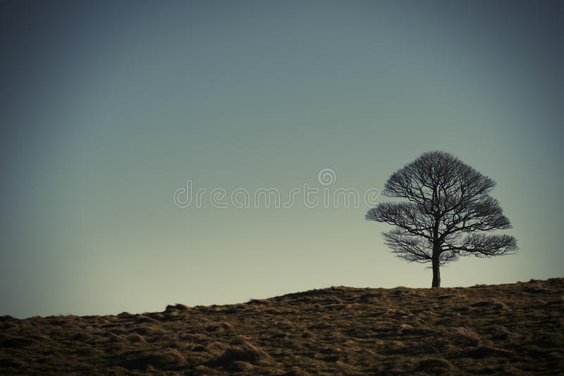 Сиротливый дуб в парке Lyme, зимнем дне Stockport Чешира Англии стоковая фотография rf