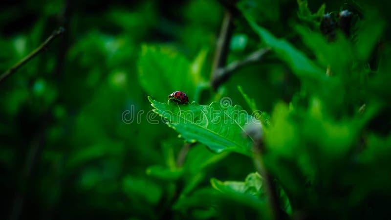Сиротливый ladybug стоковая фотография rf