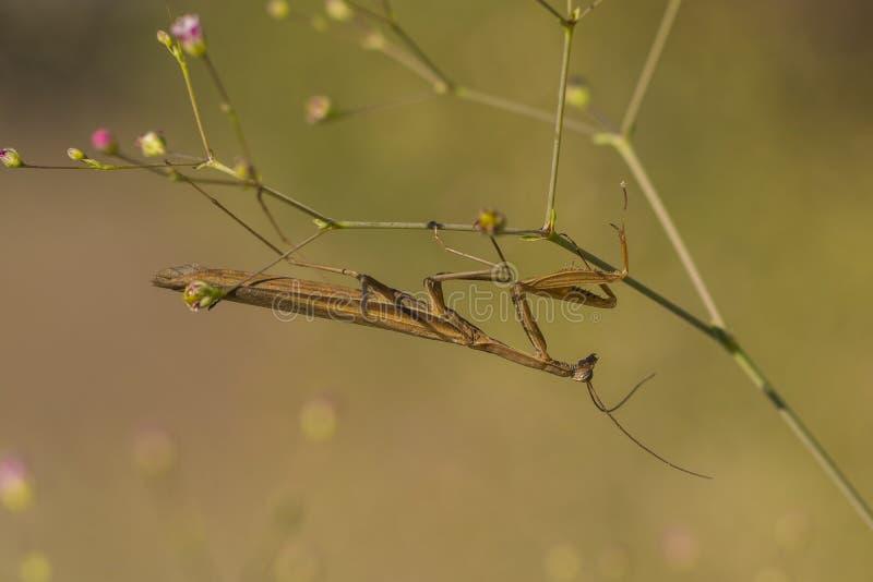 Сиротливый mantis стоковое изображение rf