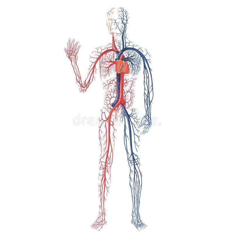 система васкулярная иллюстрация штока