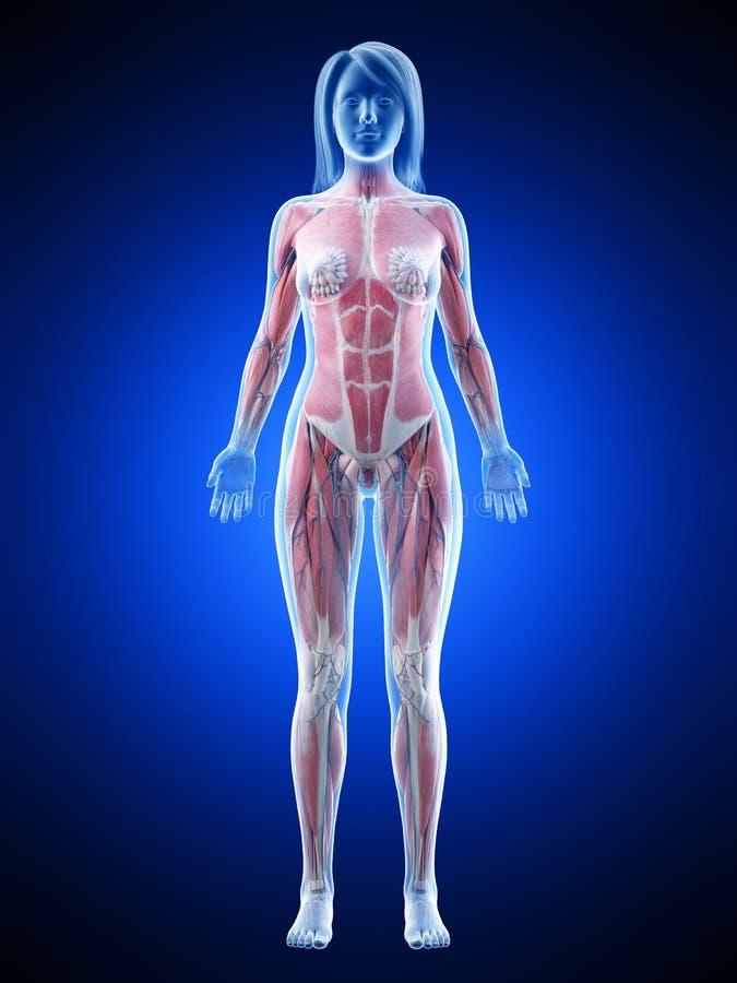Система мышцы женщин иллюстрация штока