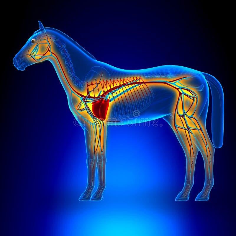 Система сердца лошади циркуляторная - анатомия Equus лошади - на голубом b иллюстрация вектора