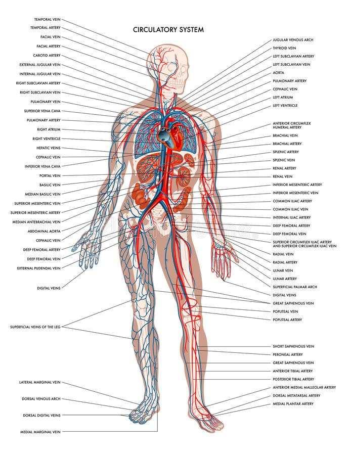 Система человеческого тела циркуляторная стоковое изображение rf