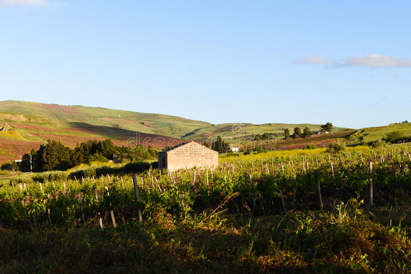 Сицилийский виноградник стоковое фото rf
