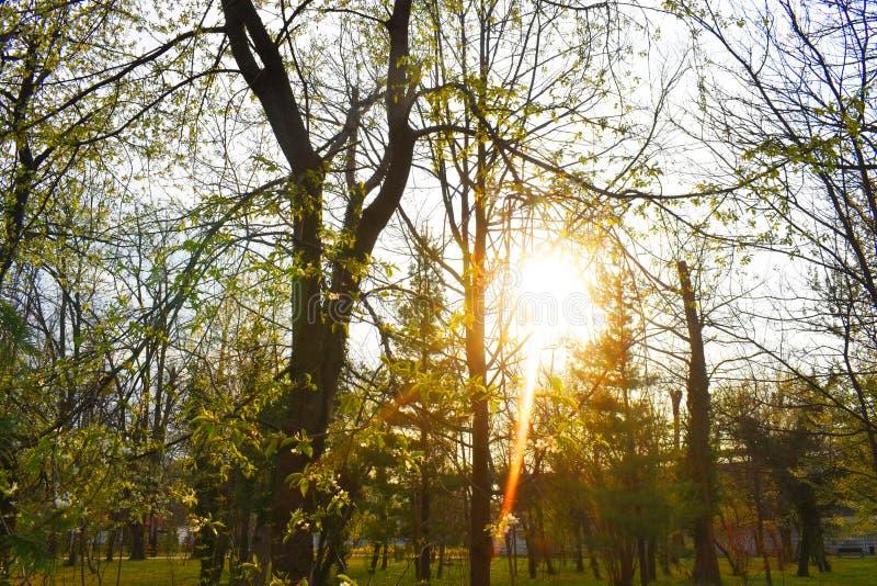 Сияющее солнце за ветвями в парке в очень красивом весеннем дне стоковые изображения