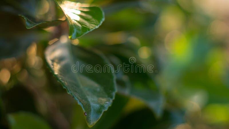 Сияющие зеленые листья отражают заходящее солнце стоковое изображение rf