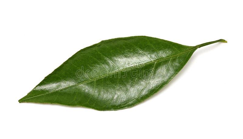 Сияющие зеленые лист tangerine на белой предпосылке Стрельба макроса стоковое фото rf