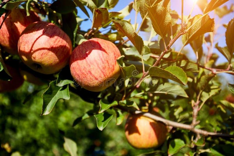 Сияющие очень вкусные яблоки вися от ветви дерева в яблоневом саде стоковое изображение