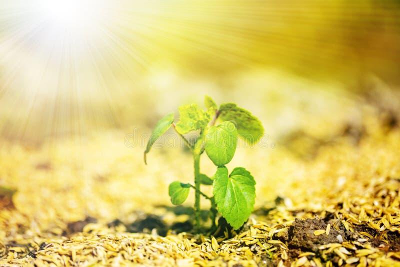 Сияющий саженец растет от плодородной почвы к солнечному свету стоковое фото