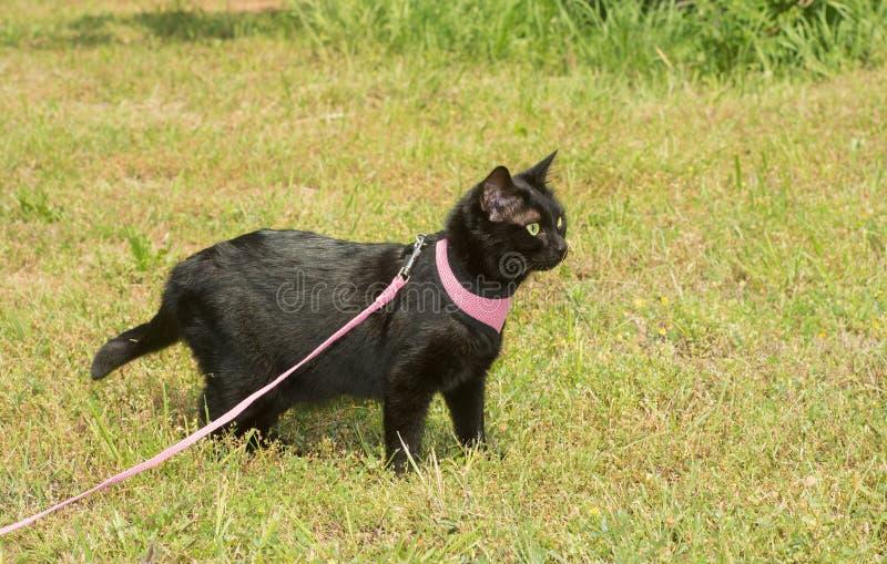 Сияющий черный кот в розовой проводке с бдительный взгляд стоковые фото