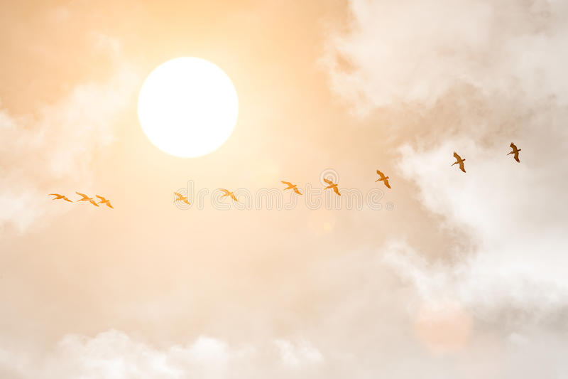 Силуэты больших белых пеликанов на заходе солнца стоковое фото rf