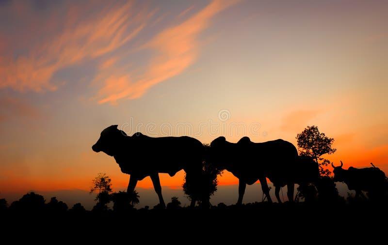 Силуэты коров на заходе солнца стоковые изображения