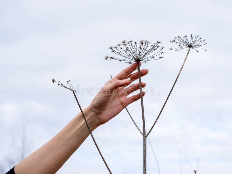 Силуэты травы зонтиков сухой стоковые фото