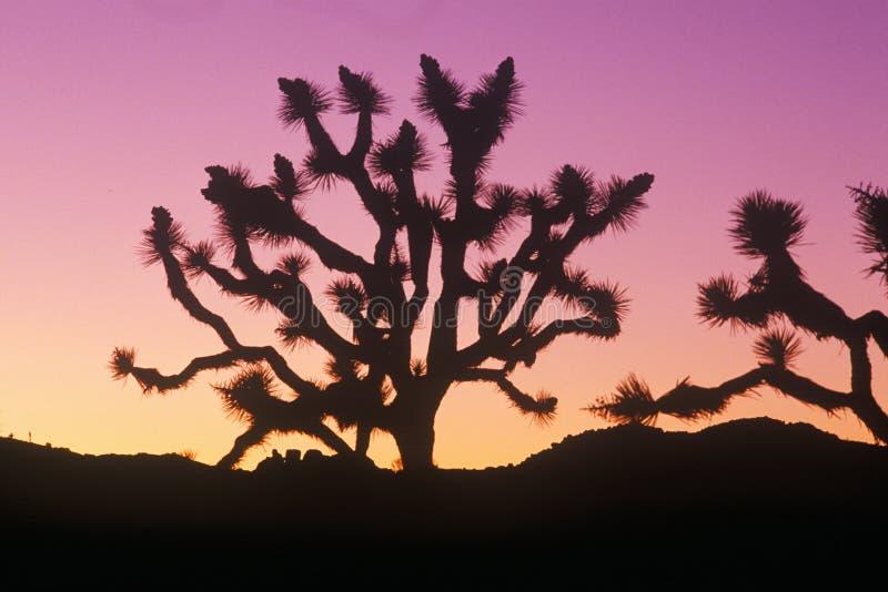 Силуэт дерева Иешуа, пустыня в цветени, CA стоковое изображение rf