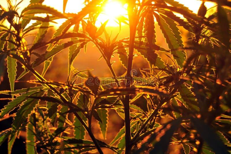 Силуэт завода конопли на восходе солнца стоковая фотография rf