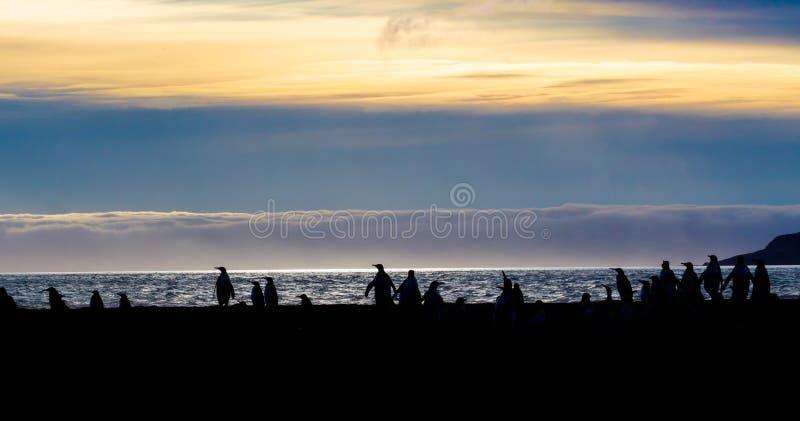 Силуэт короля и pengins gentoo на Сент-Эндрюсе преследуют, острова Южной Георгии, на восходе солнца стоковые изображения rf