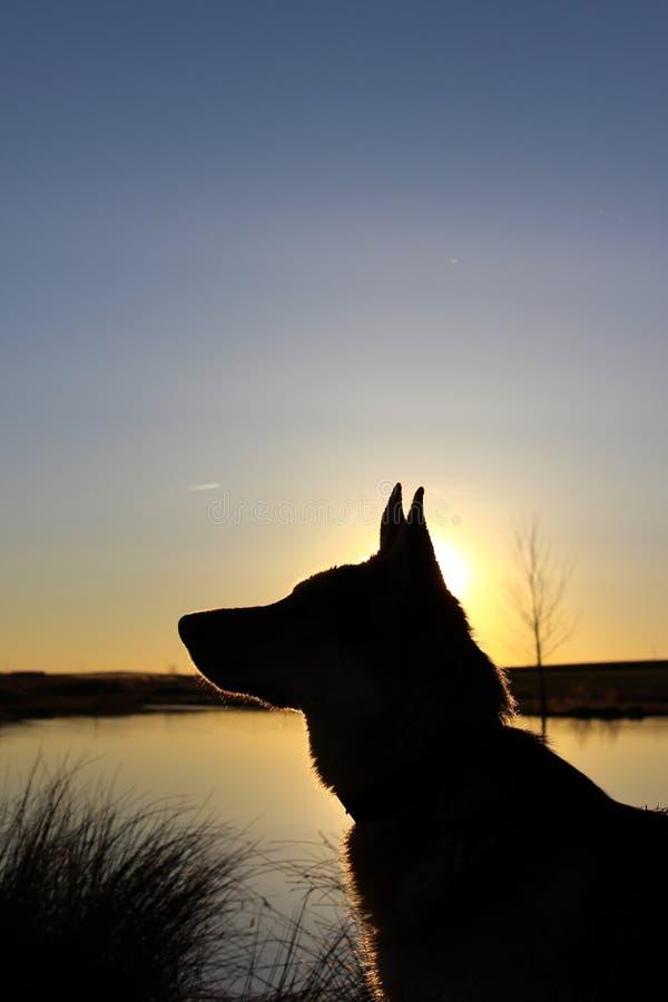 картинки с овчаркой на закате при отсутствии