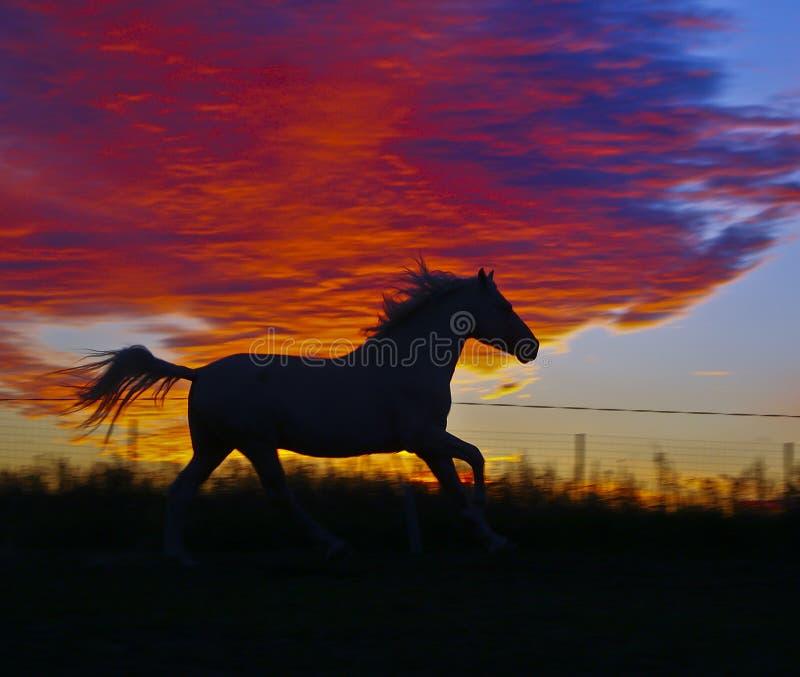 Силуэт лошади которая бежать на предпосылке оранжевых облаков в вечере стоковое изображение