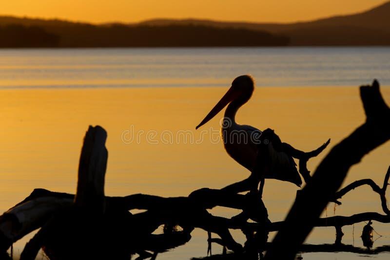 Силуэт пеликана стоковые фотографии rf