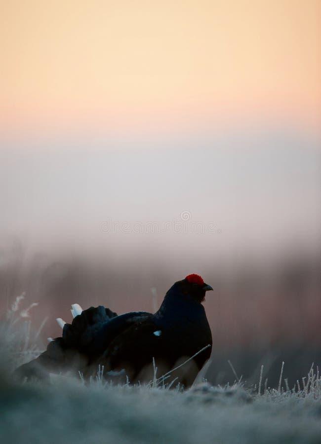 Силуэт тетеревиных Lekking черных стоковая фотография rf