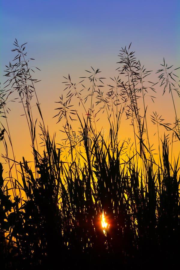 Силуэт травы на заходе солнца против неба вечера стоковое изображение