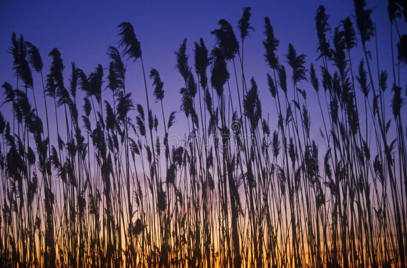 Силуэт тростников в болоте на заходе солнца, заливе Делавера, DE стоковое изображение rf