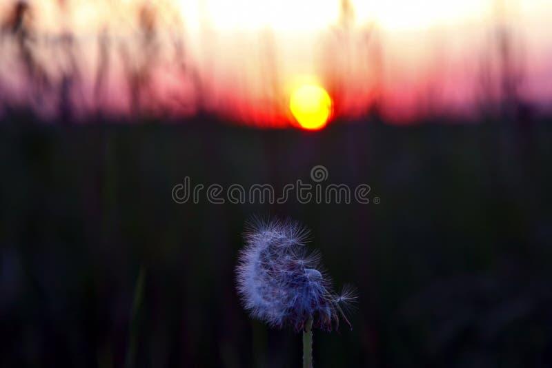 Силуэт цветка одуванчика против заходящего солнца стоковая фотография
