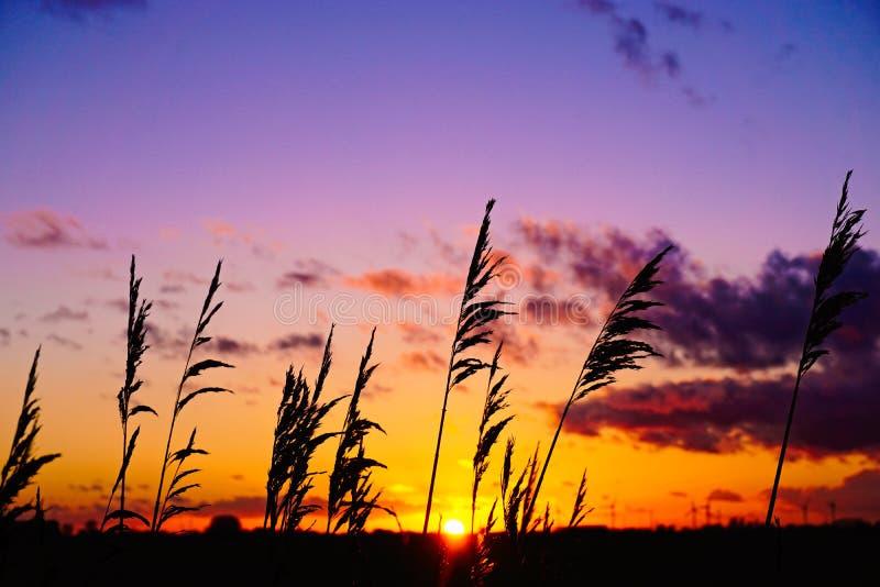Силуэт Reed захода солнца стоковое изображение