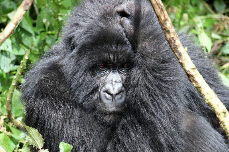 Сильная горилла горы задней части серебра стоковая фотография