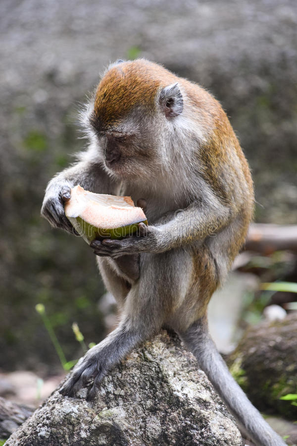 Сидя обезьяна ест стоковая фотография rf