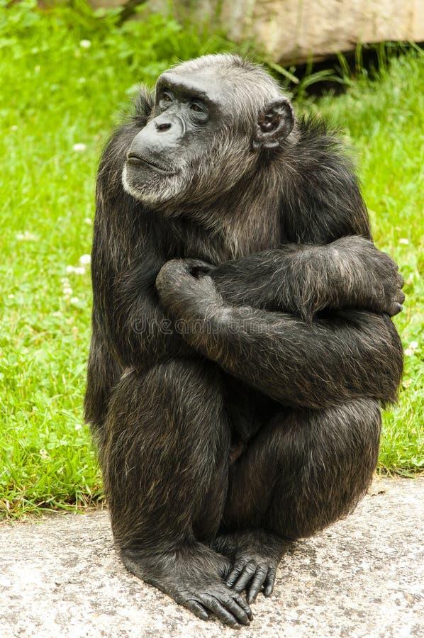 Сидя шимпанзе стоковое фото rf