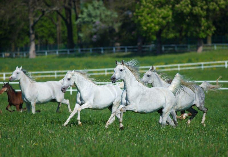 Скакать аравийские лошади стоковые фотографии rf