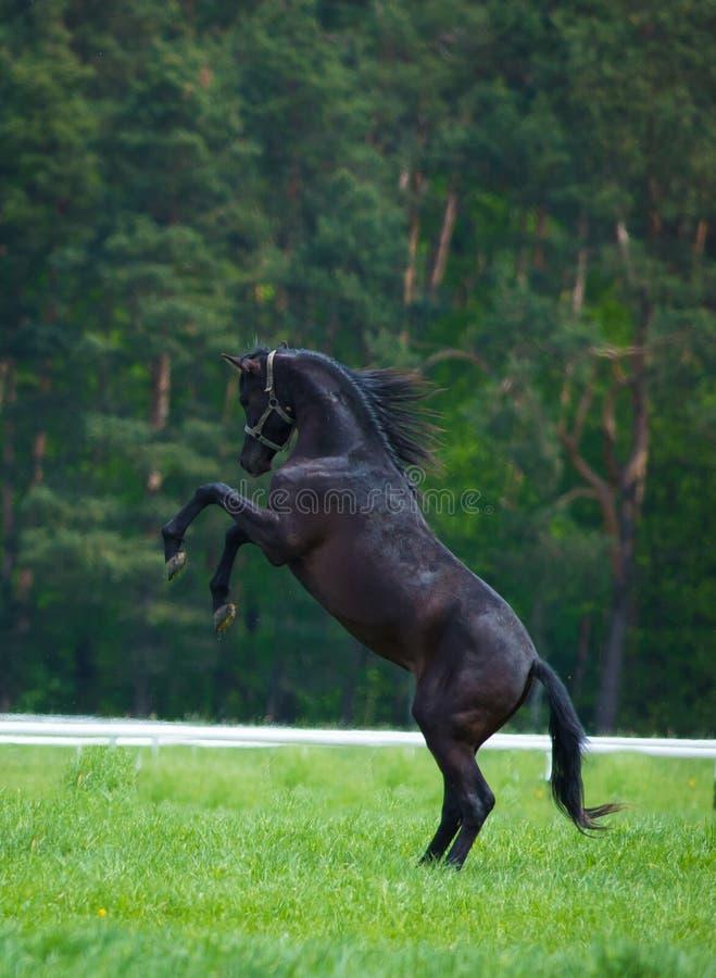 Скакать аравийские лошади стоковое изображение