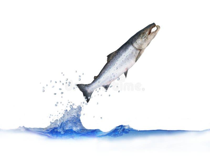 Скакать вне от семг воды стоковое изображение