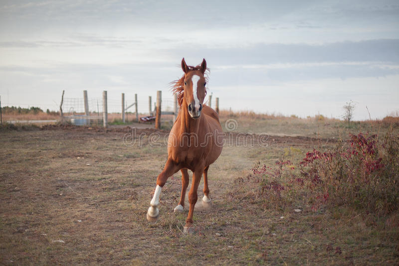 Скакать квартальная лошадь стоковое фото