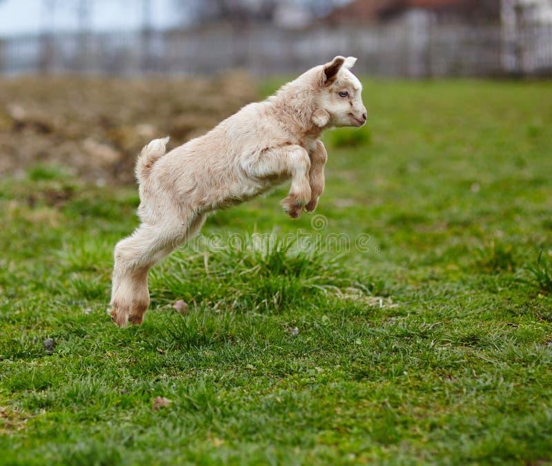 Скакать козы младенца стоковое фото