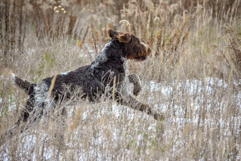 скакать собаки Скачка указателя немецкого провода с волосами на поле стоковые изображения rf